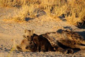 Northen Botswana Khwai Hyena Cub Safari Wildlife