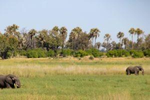 Northen botswana Chobe Safari Elephants