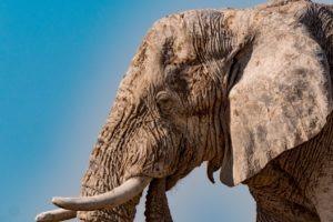 Northen namibia etosha elephant game viewing