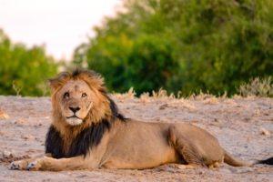 Northern Botswana Chobe Big Five Lion Photography