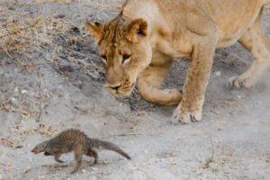 Northern Botswana Chobe Big Five Lion Unique Sighting