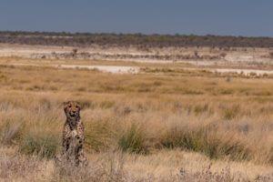 Northern Namibia Etosha cheetah wildlife safari