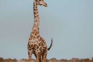 Northern Namibia Etosha giraffe frank and gesa photography