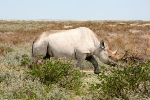 Northern Namibia Rhino Etosha