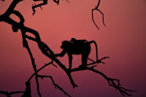 baboon chobe sunset photosafari