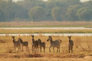 camp zambezi mana pools zebra