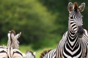 dinaka zebra portrait