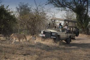 kanga camp mana pools game drive lion