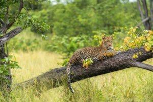 khwai leopard on fallen tree