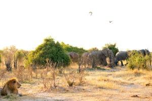 lion savuti elephants botswana 1