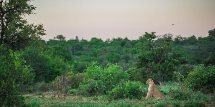 lion timbavati green landscape