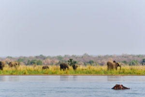 lower zambezi tusk and mane elephant hippo zambezi