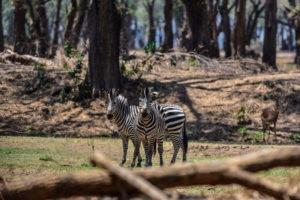 lower zambezi tusk and mane zebra