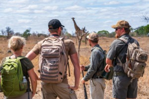 lowveld trails timbavati giraffe guests walking