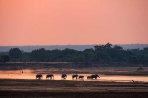luangwa zambia elephants