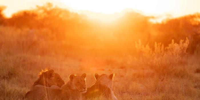 nxai pan three lions sunrise