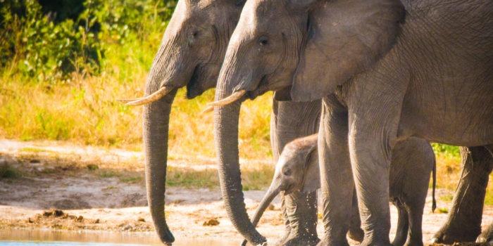 savuti elephants drinking baby