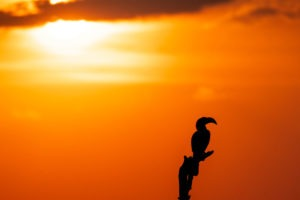 savuti hornbill sunset