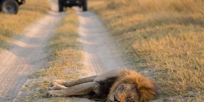 savuti lion in the road