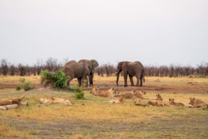 savuti lions elephants waterhole