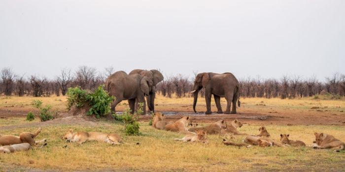 savuti lions elephants waterhole