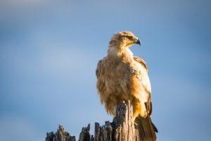 savuti tawny eagle bird
