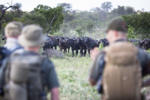 walking trail timbavati kruger buffalo