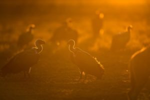 west zambia liuwa plains wildlife photography vulture