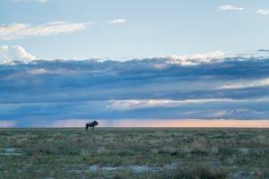 west zambia liuwa plains wildlife photography wildebeest
