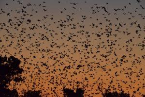 zambia kasanka bat migration sunset
