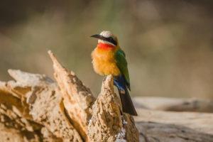 zambia lower zambezi birding safari