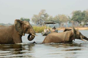 zambia lower zambezi boat cruise elephants in river