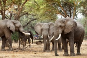 zambia lower zambezi sausage tree camp game drive safari big five