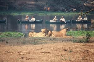 zambia lower zambezi sausage tree camp lion canoe