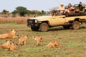 zambia lower zambezi sausage tree camp lion pride with cubs