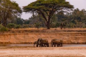 zambia luangwa valley elephant herd