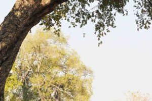 zambia luangwa valley game drive with leopard in tree big five