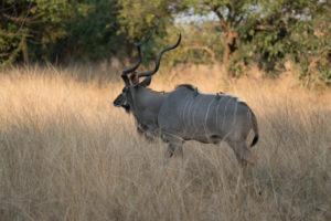 zambia luangwa valley gesa kafunta kudu