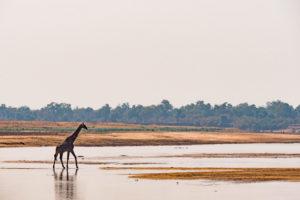zambia luangwa valley giraffe safari