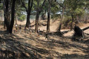 zambia luangwa valley kaingo walking safari