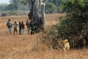 zambia luangwa valley lion tracking on foot