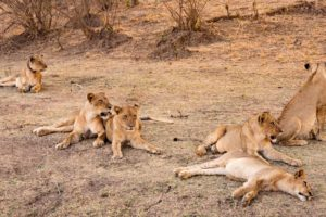 zambia luangwa valley pride of lions