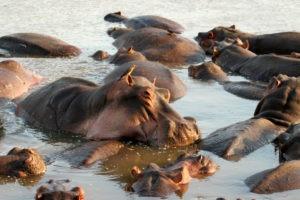 zambia luangwa valley shenton safari hippo pod