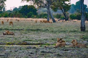 zambia luangwa valley wildlife safari lion kill