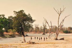 zambia south luangwa walking safari across plains
