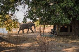 zimbabwe mana pools elephant in camp mobile safari