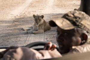 zimbabwe mana pools lion game drive safari guide