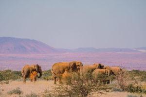 desert elephants namibia herd