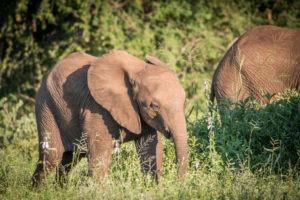 elephant baby timbavati
