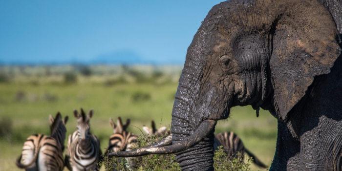 elephant zebra kruger safari